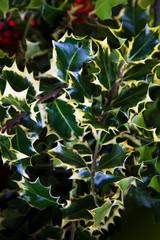 Festive holly leaf background. Traditional Christmas decoration.