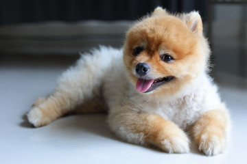 small dog pomeranian cute pets smile laying in home
