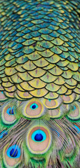 Photo sur Toile Paon Details and patterns of peacock feathers.