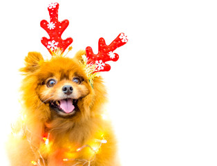 funny dog with christmas decoration isolated