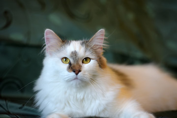 beautiful white fluffy cat with brown