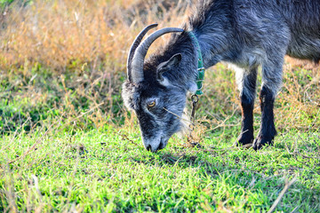 A gray goat with big horns eats green grass in the pasture.