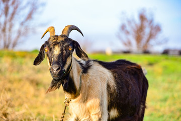 A handsome bearded goat with horns is standing in front.