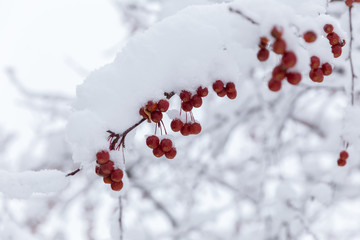 Red Berries on Snowy Tree Branches