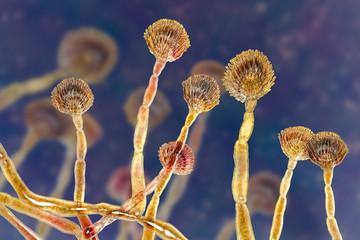 Fungus Aspergillus flavus, 3D illustration, a major producer of aflatoxin in crops, a potent carcinogen