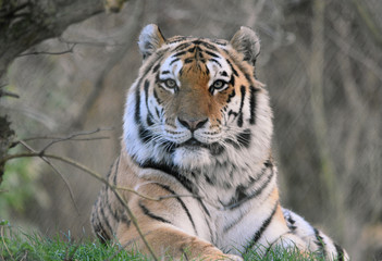 Tiger with eye contact face on