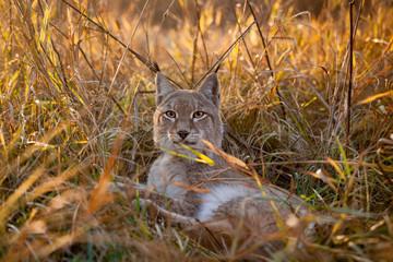 Abordable Eurasian Lynx, portrait in autumn field