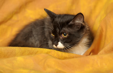 black and white shorthair cat on a yellow background
