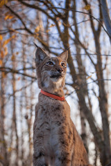 Abordable Eurasian Lynx, portrait in autumn forest