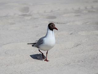 Möwe am Strand, Sand