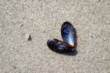 Muscheln, Seepocken, Sand, Strand, Urlaub