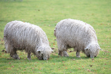 lincoln longwool rare breed at riseholme agricultural collage Fototapete