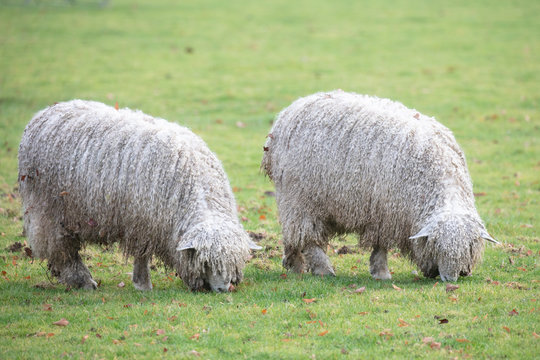lincoln longwool rare breed at riseholme agricultural collage
