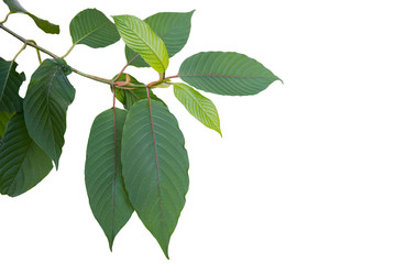 Mitragyna or Kratom leaves on tree isolated Wall mural