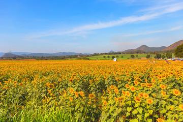 Sunflower field landscape.