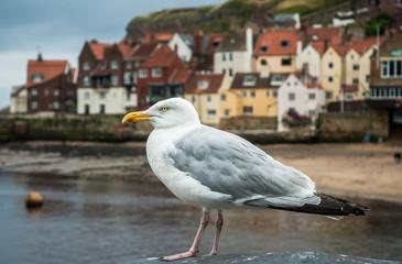 British Seaside Gull