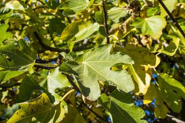 Fig tree leaves
