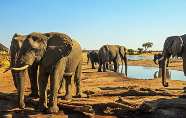 Beautiful close up  view from camp of African elephants at a waterhole with a vibrant blue sky and natural dry arid savannah in the background. Hwange National Park, Zimbabwe