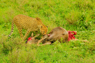 One adult male of cheetah eats a young Gnu or Wildebeest in the vegetation of Tarangire National Park, Tanzania, Africa.