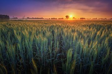 Sonnenaufgang im Juni über einem Feld bei Hannover Fotoväggar