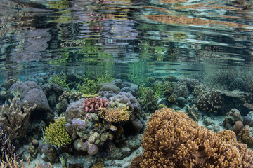 Colorful Corals in Shallow Water