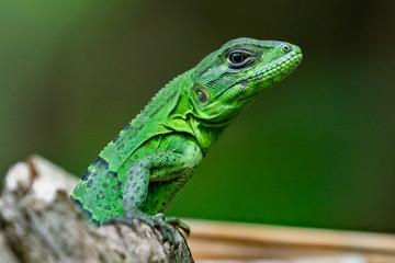 Green Lizard on a Tree Costa Rica Close Up