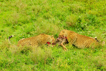 Two adult male of cheetahs eats a young Gnu or Wildebeest in the vegetation of Tarangire National Park, Tanzania, Africa.
