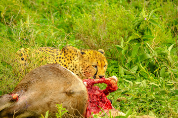 Closeup of adult male of cheetah eats a young Gnu or Wildebeest in the vegetation of Tarangire National Park, Tanzania, Africa.