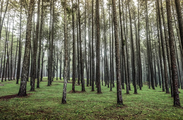Panoramic View Inside Coniferous , A Route through Pine Forest