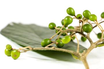 Picrasma javanica Blume for herbal