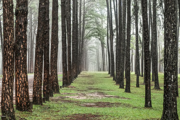 Road through the Pine Forest , View of pine trees in the coniferous forest