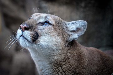 Female Puma Looking Up