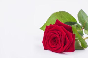 Red rose isolated on white background. Romantic background with fresh rose flower, copy space. Birthday greeting card.