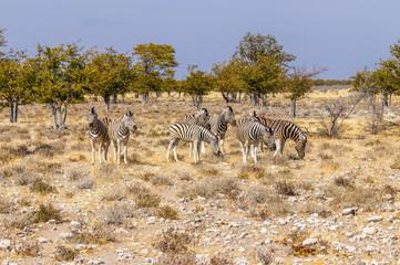 A herd of Zebras ( Equus Burchelli), Etosha National Park, Namibia.