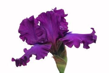 Purple Iris on white background