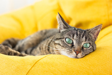 Poster Cat Cute tabby cat with green eyes lies on bright yellow bean bag. Boring mood.