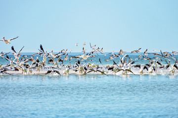White pelican colony taking off from sandbar