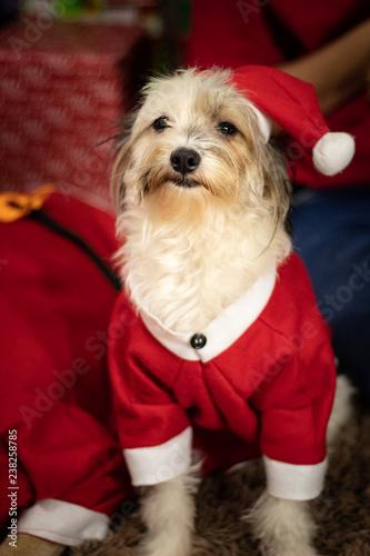 Cachorro Vestido De Papai Noel Cão Natalino Stock Photo