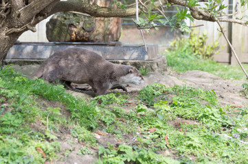 otter in zoo