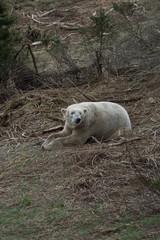 Self adhesive Wall Murals Polar bear polar bear