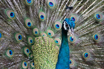 Beautiful peacock straightened fluffy tail with multi-colored feathers: blue and green. portrait of a peacock
