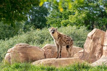 Printed kitchen splashbacks Hyena Hyena at the Zoo with Rocks, Trees, and Grass