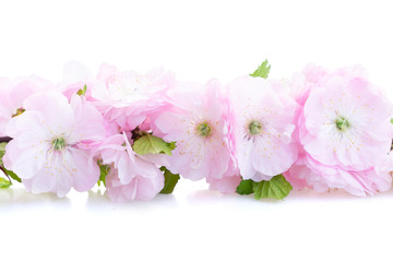 Spring pink cherry tree flowers blooming twig over white background