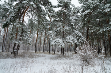 Winter forest in the snow. Trees and bushes in the snow. Snow on the branches of trees. Frosty, winter forest.