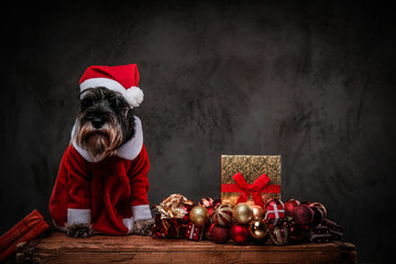 Cute Scottish terrier wearing Santa's costume sitting on a wooden pallet surrounded by gifts and balls at Christmas time.