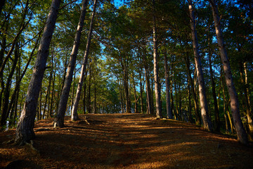 Sunny pine forest with path rising to the top of the hill