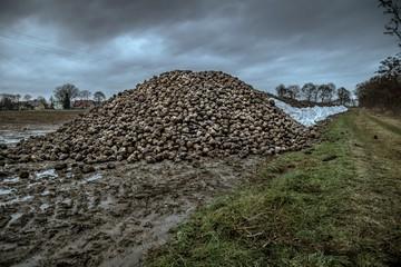 wielka kupa buraków pastewnych na jesiennym polu