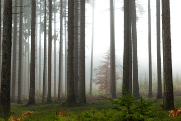 Forest in fog, autumn in a forest of the Czech Republic.