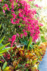 Closeup of vibrant pink bougainvillea flowers in Florida Keys or Miami, green plants landscaping landscaped lining sidewalk street road during summer spring day