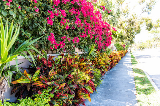 Vibrant pink bougainvillea flowers in Florida Keys or Miami, green plants landscaping landscaped lining sidewalk street road during summer spring day